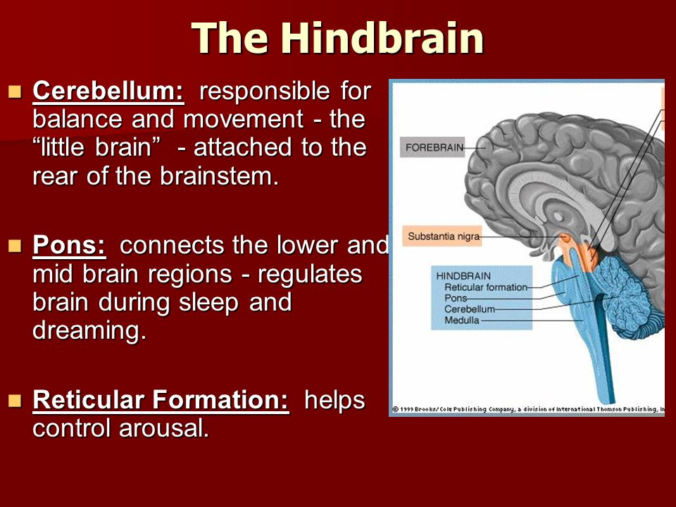 The Hindbrain Cerebellum: responsible for balance and movement - the little brain - attached to the rear of the brainstem.