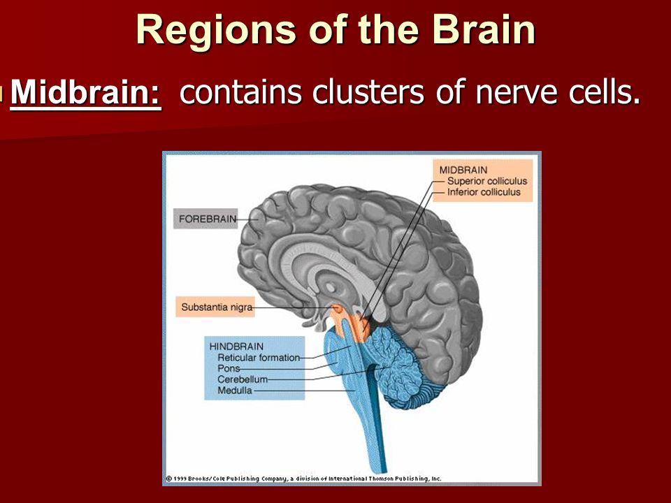 Regions of the Brain Midbrain: contains clusters of nerve cells.