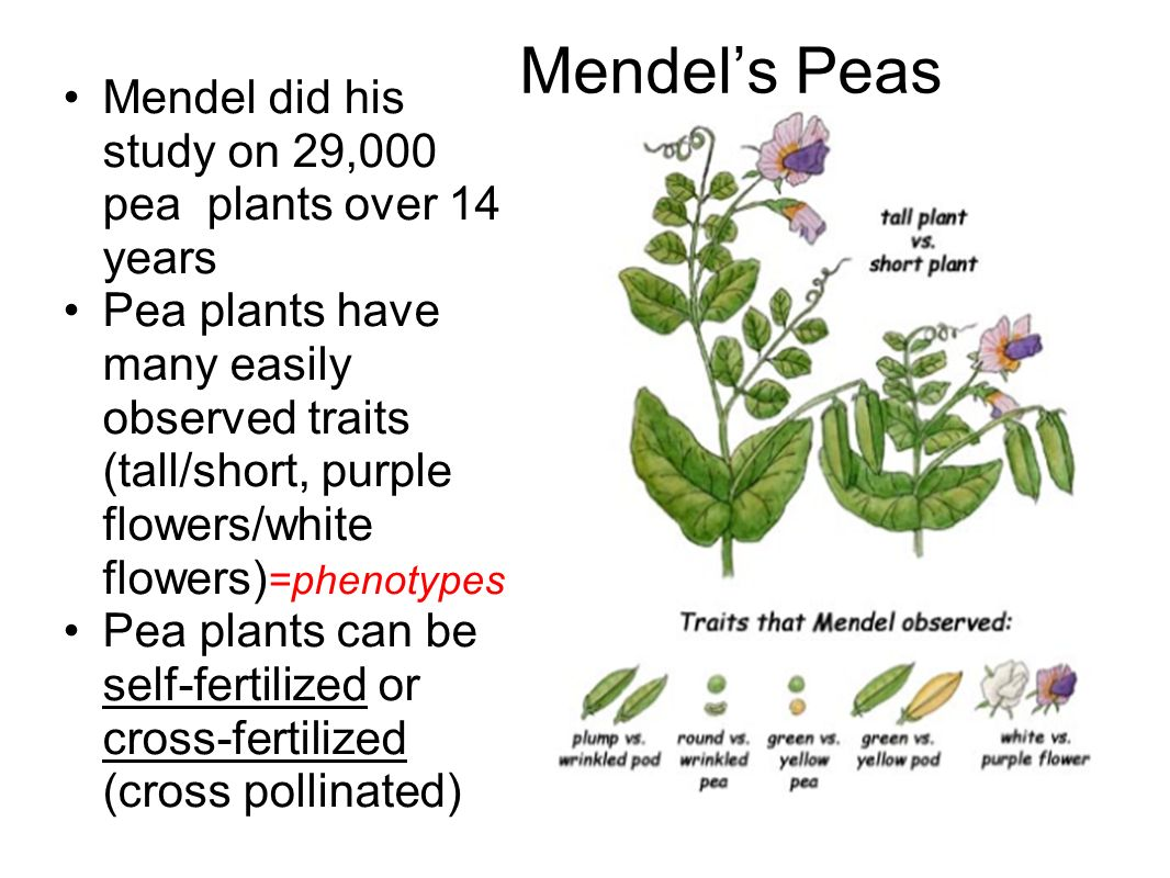 Mendel's Peas Mendel did his study on 29,000 pea plants over 14 years