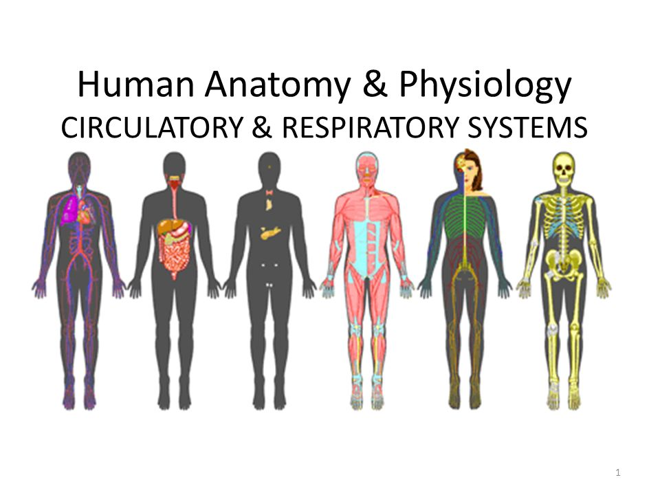 Human Anatomy & Physiology CIRCULATORY & RESPIRATORY SYSTEMS