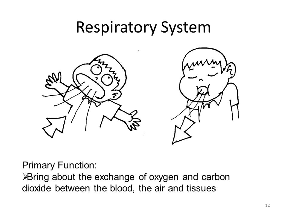 Respiratory System Primary Function: