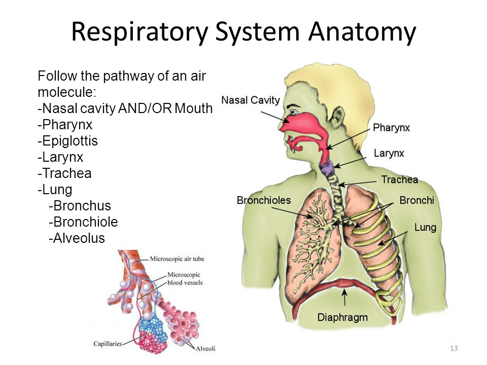 essays on respiratory system Respiratory system this essay respiratory system is available for you on essays24com search term papers, college essay examples and free essays on essays24com - full papers database.