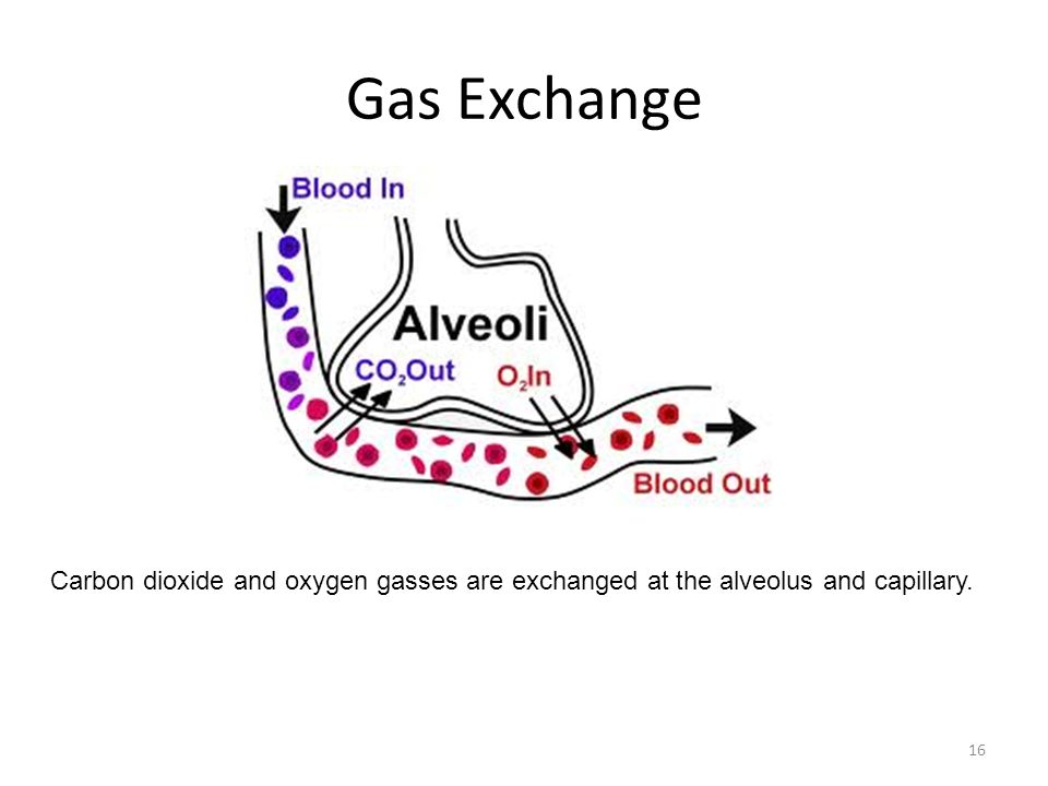 Gas Exchange Carbon dioxide and oxygen gasses are exchanged at the alveolus and capillary.
