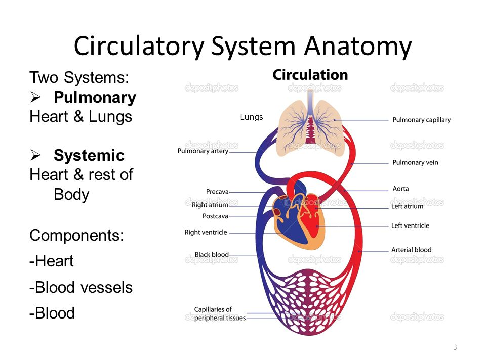 Schön Anatomy And Physiology Of The Circulatory System ...