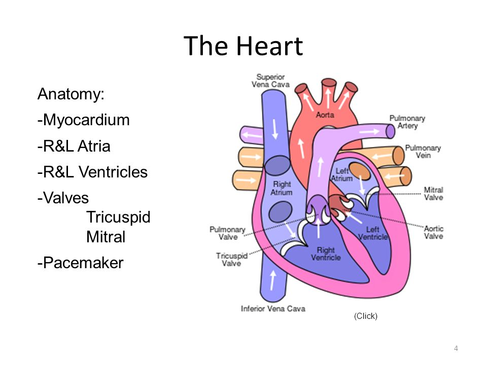 The Heart Anatomy: -Myocardium -R&L Atria -R&L Ventricles -Valves