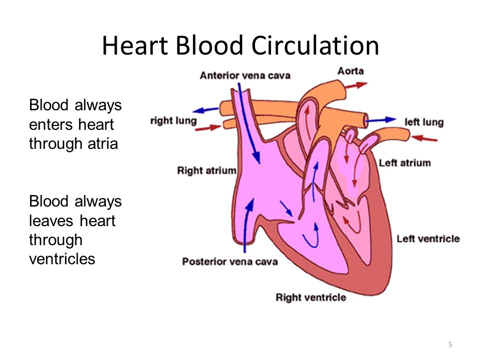 Heart Blood Circulation