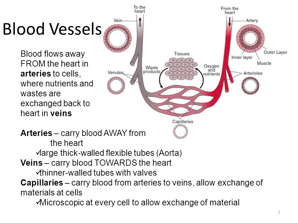 Blood Vessels Blood flows away FROM the heart in arteries to cells, where nutrients and wastes are exchanged back to heart in veins.