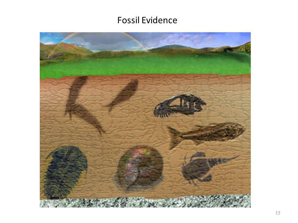 Fossil Evidence Fossils were found that resemble modern-day organisms and were slightly different.