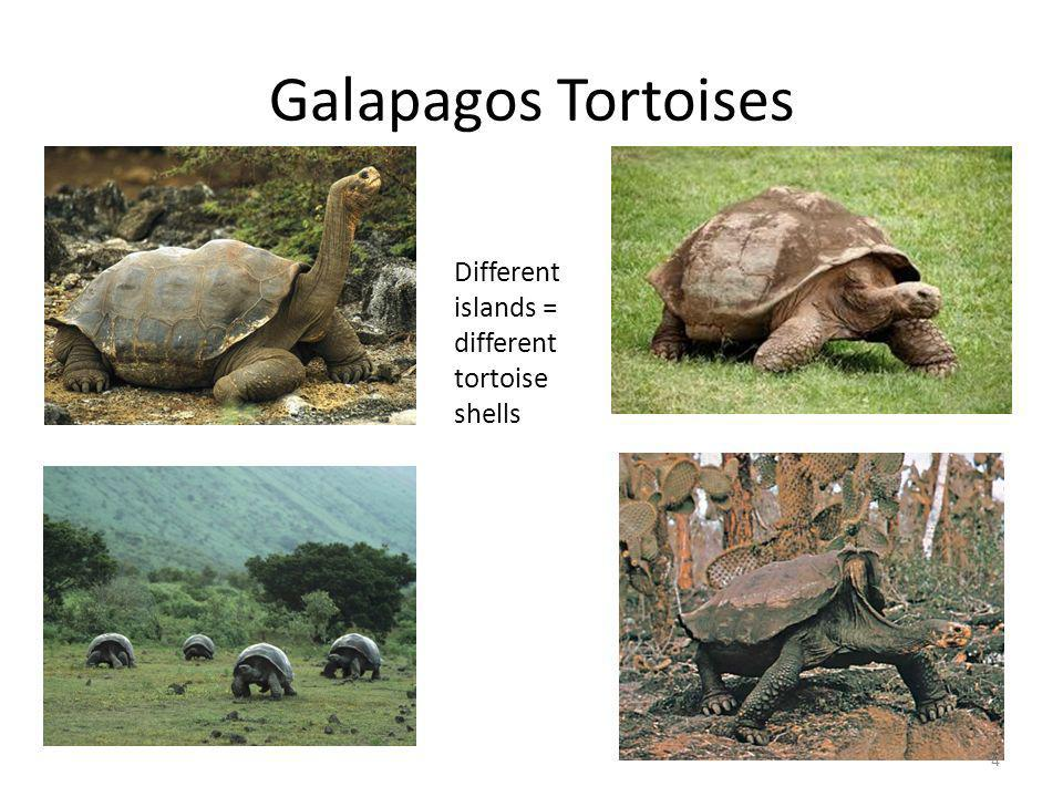Galapagos Tortoises Different islands = different tortoise shells