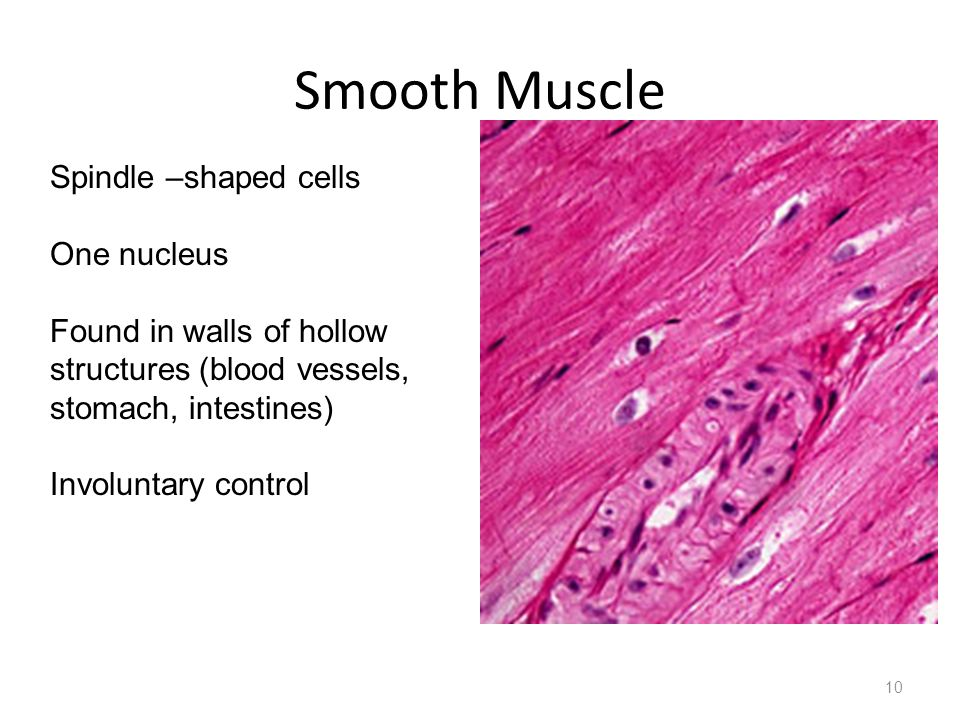 Smooth Muscle Spindle –shaped cells One nucleus