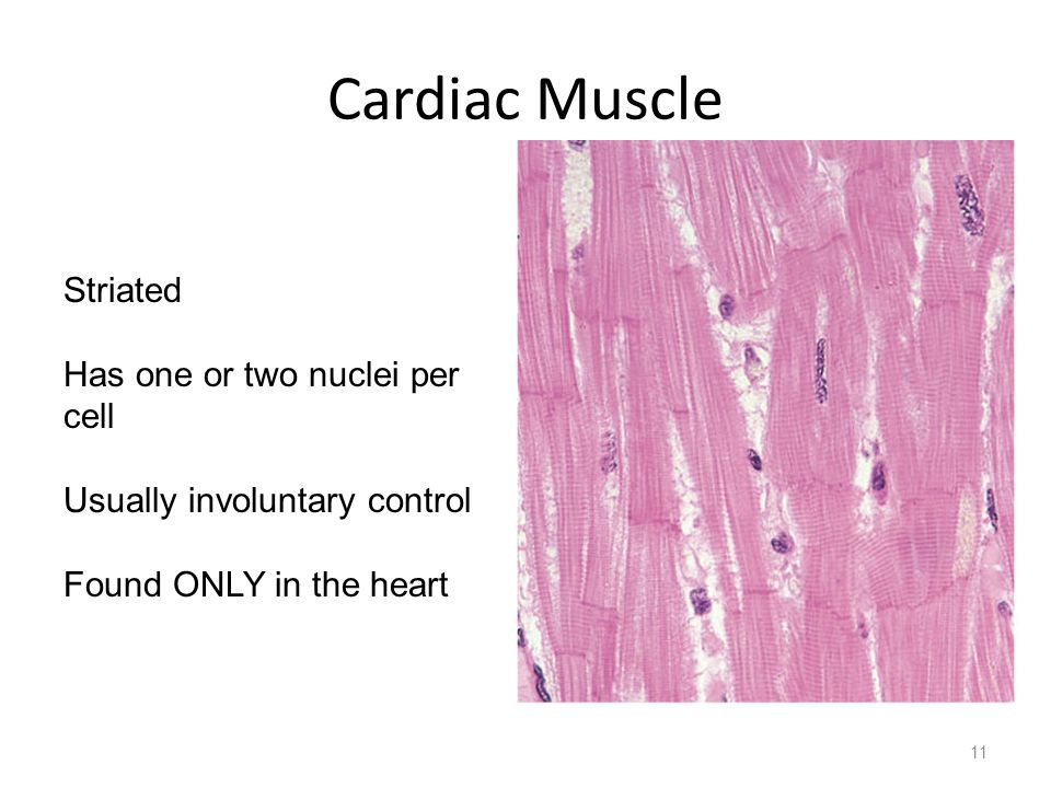 Cardiac Muscle Striated Has one or two nuclei per cell