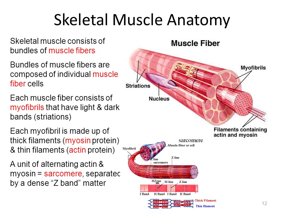 Skeletal Muscle Anatomy