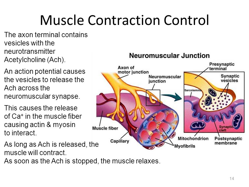 Muscle Contraction Control