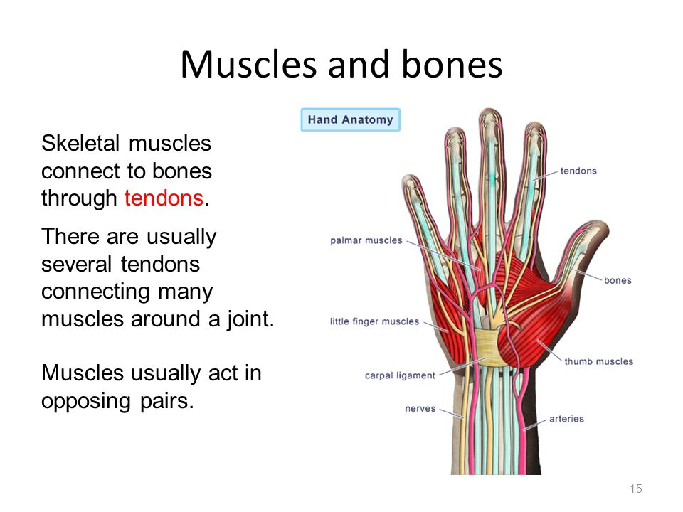 Muscles and bones Skeletal muscles connect to bones through tendons.