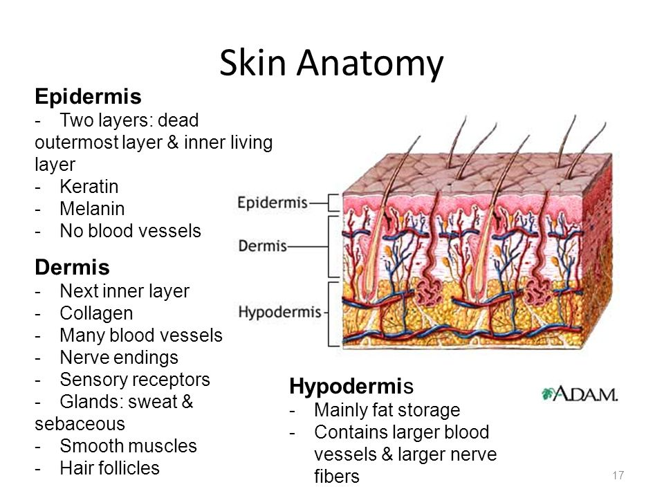 Skin Anatomy Epidermis Dermis Hypodermis Two layers: dead