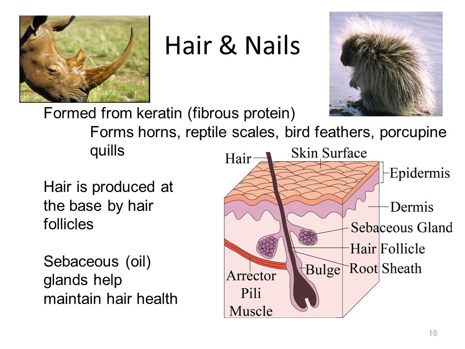 Hair & Nails Formed from keratin (fibrous protein)