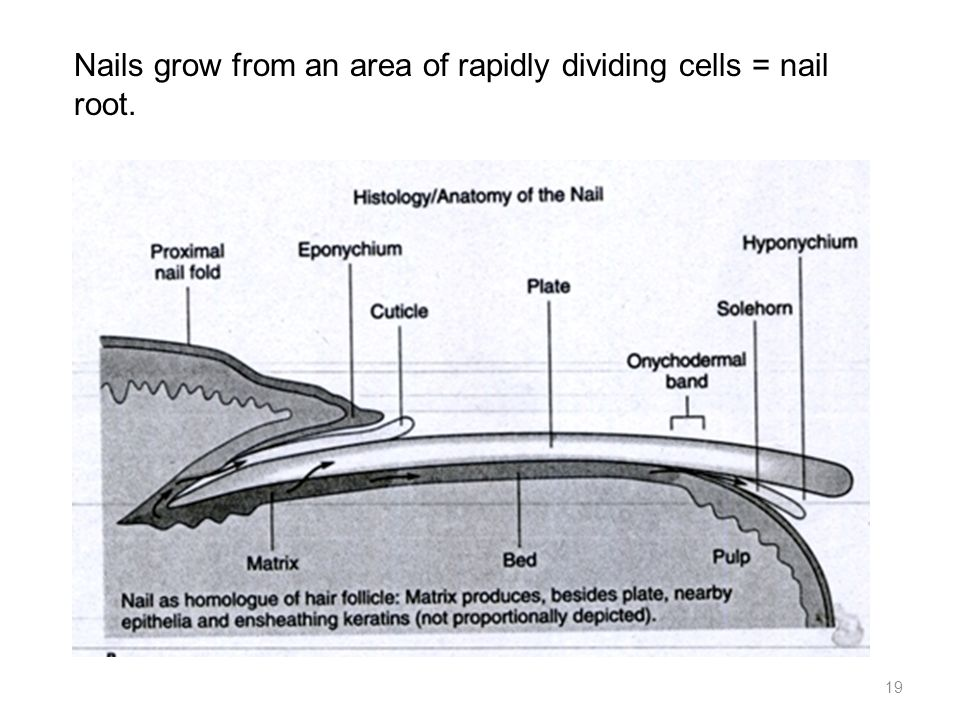 Nails grow from an area of rapidly dividing cells = nail root.