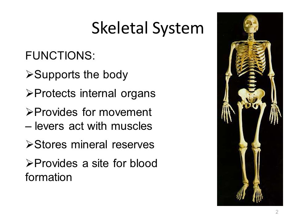 Skeletal System FUNCTIONS: Supports the body Protects internal organs