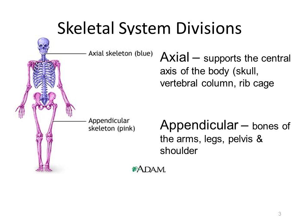 Skeletal System Divisions