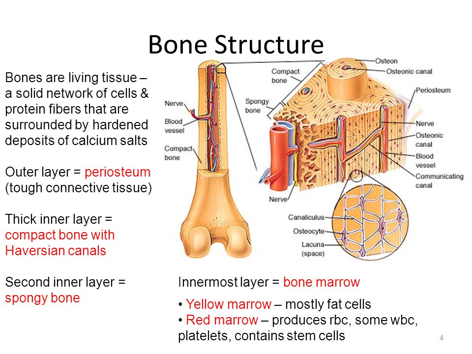 Bone Structure Bones are living tissue – a solid network of cells & protein fibers that are surrounded by hardened deposits of calcium salts.