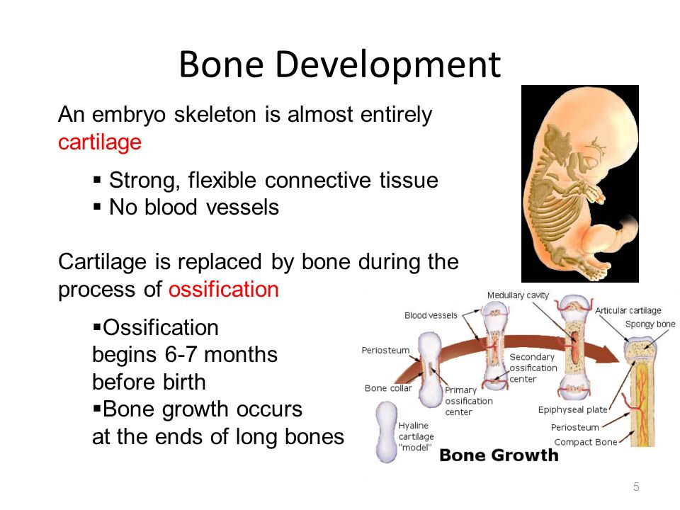 Bone Development An embryo skeleton is almost entirely cartilage