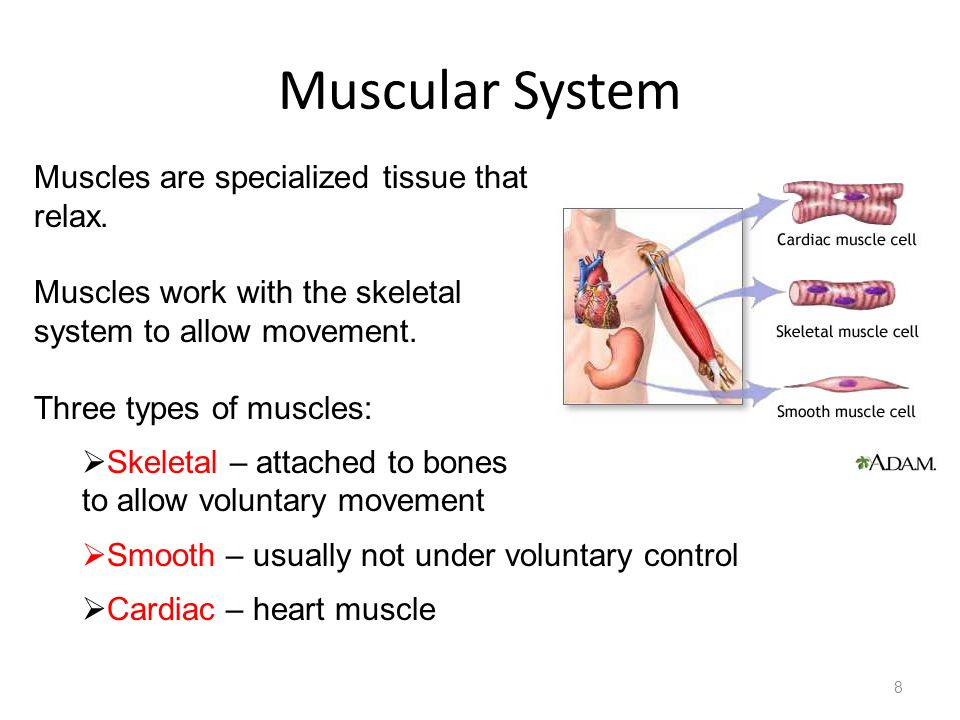 Muscular System Muscles are specialized tissue that can contract and relax. Muscles work with the skeletal.