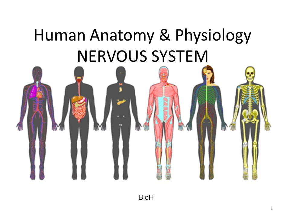 Human Anatomy Physiology Nervous System Ppt Video Online Download