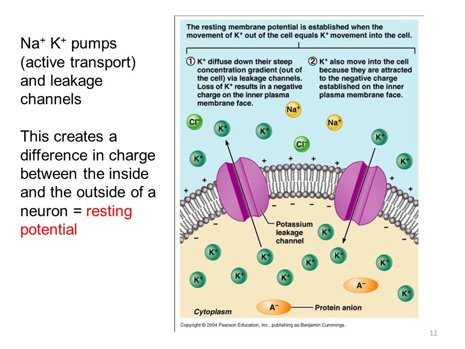Na+ K+ pumps (active transport) and leakage channels