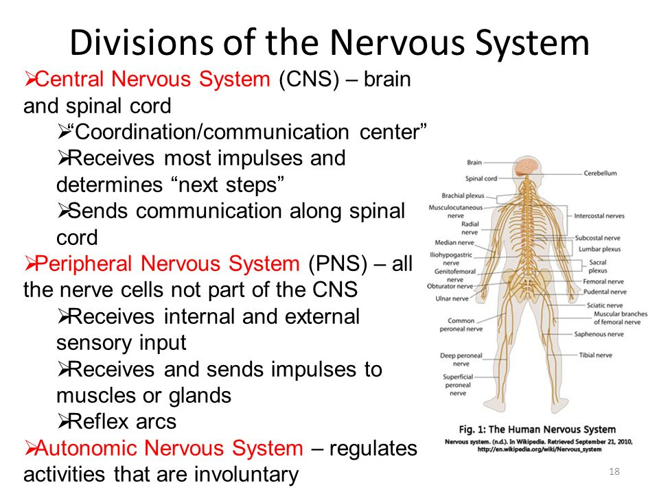 gross anatomy of the central nervous Anatomy of the central nervous system - see more about anatomy of the central nervous system, anatomical divisions of the central nervous system, anatomical organization of the central nervous system, anatomy and physiology chapter 12 the central nervous system test, anatomy and physiology of the central nervous system pdf, applied anatomy.
