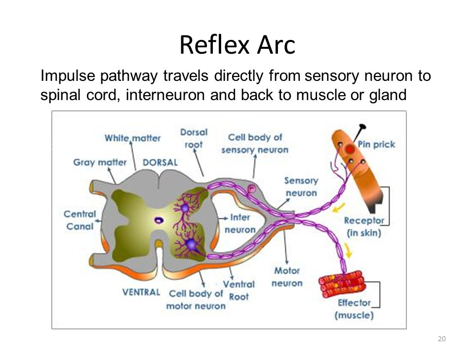 Reflex Arc Impulse pathway travels directly from sensory neuron to spinal cord, interneuron and back to muscle or gland.