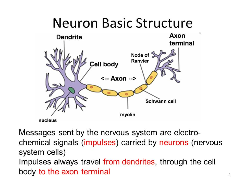 Neuron anatomy and function
