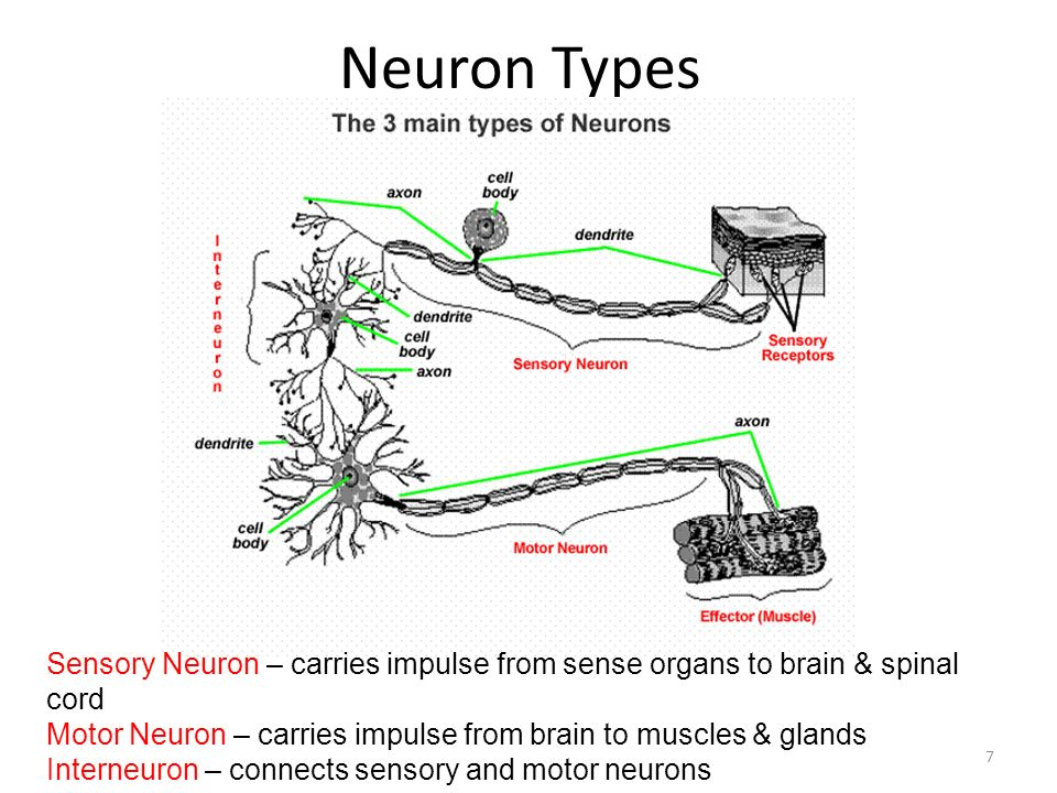 Neuron Types If you painfully stub your toe, what is the sequence of neurons that the stimulus would follow