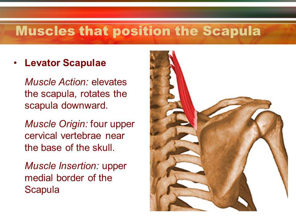 Anatomy of the scapula