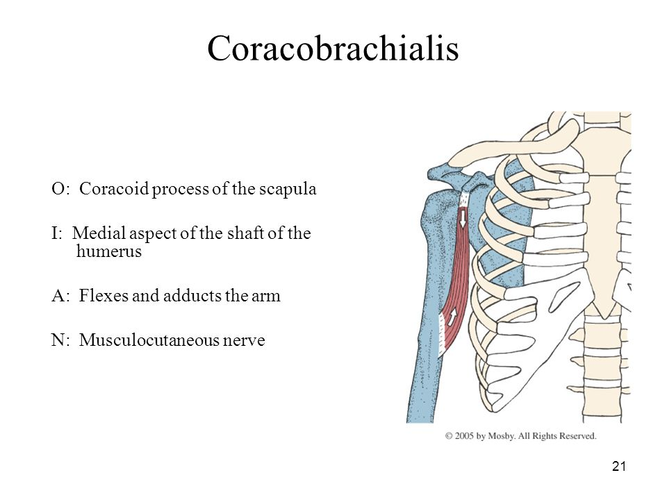 myology of the shoulder - ppt video online download, Sphenoid