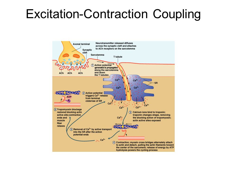 Contraction Physiology | Excitation-Contraction Coupling