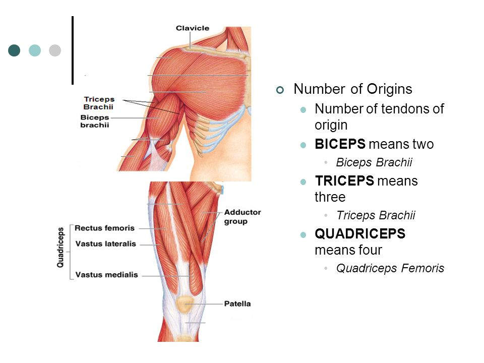 Muscular System Muscles are responsible for all types of body ...