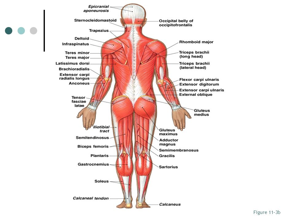 appendicular muscles