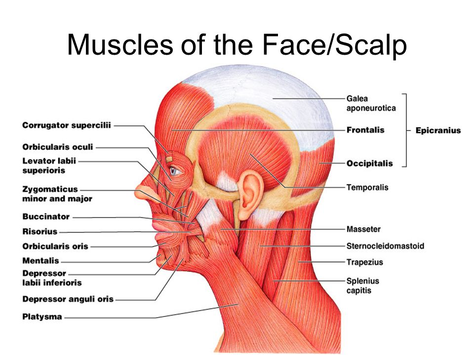muscles of the face - Ideal.vistalist.co