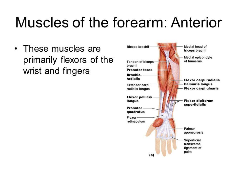 Coccygeus Muscle And Pelvic Floor Pelvic Floor Anatomyzone