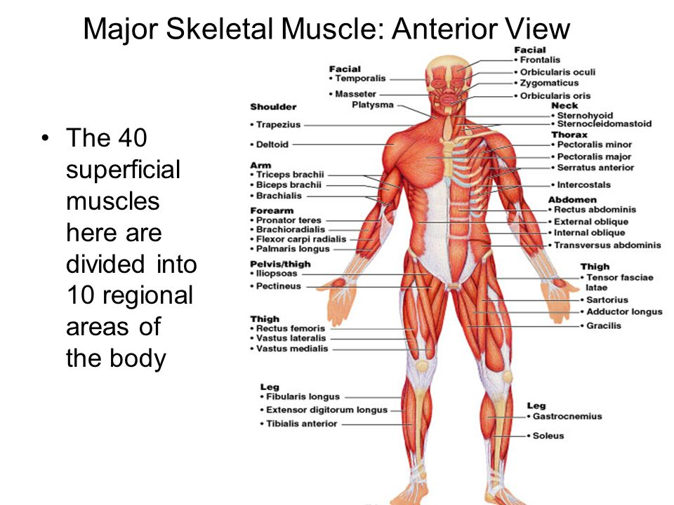 skeletal muscle physiology exercise 2 answers Help your students develop an understanding of exercise physiology concepts and their application athletic performance and well-being with exercise physiology, 2eusing an engaging evidence-based approach that combines research and theory with practical discussions of nutrition and training, the authors help students understand how the human body works and responds to exercise.