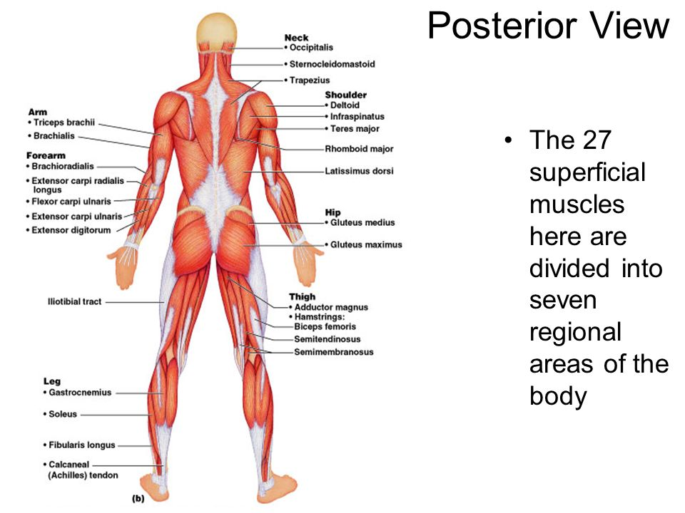 Human Skeleton And Muscles Diagram Bones And Muscles Labeled Human Skeleton With Muscles Labeled 2 further Major Arteries Human Body Pictures Human Body Major Arteries Human Body Arteries Diagram Diagram Of as well Human Upper Body Muscles Human Upper Body Muscle Anatomy Archives Anatomy Organ together with 387 together with Human Body Systems Ppt. on location of the major muscles in human body