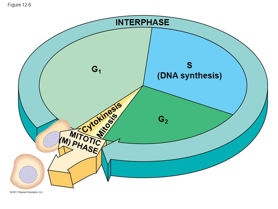 INTERPHASE S (DNA synthesis) G1 Cytokinesis G2 Mitosis