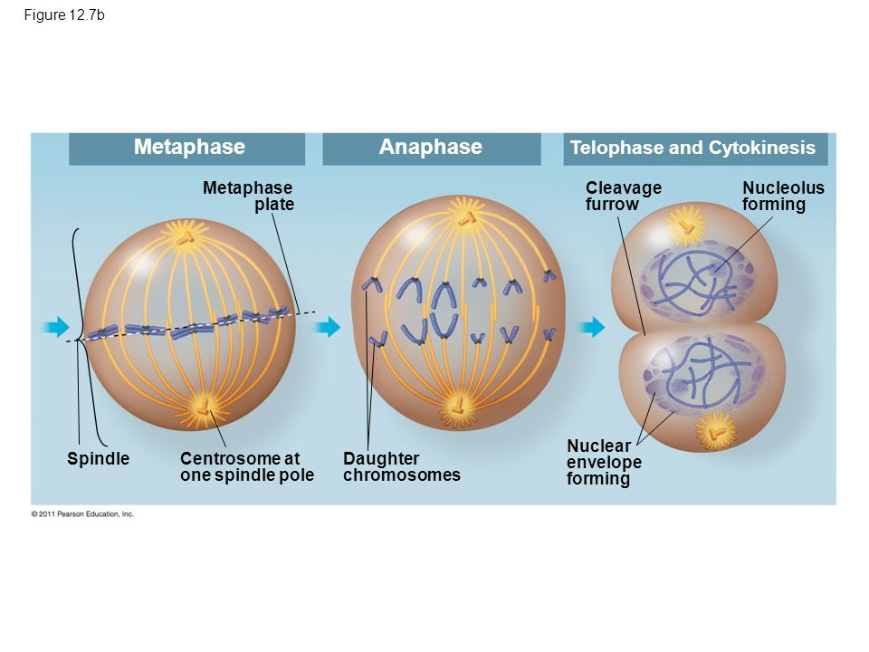 Metaphase Anaphase Telophase and Cytokinesis Metaphase plate