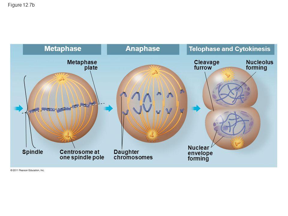 Metaphase Anaphase Telophase and Cytokinesis Metaphase plate