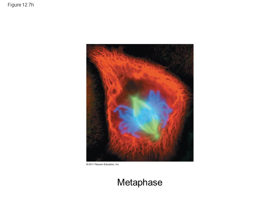 Figure 12.7h Figure 12.7 Exploring: Mitosis in an Animal Cell Metaphase