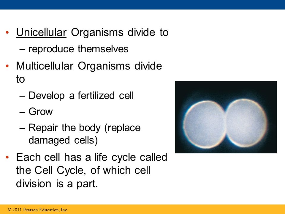 Unicellular Organisms divide to Multicellular Organisms divide to