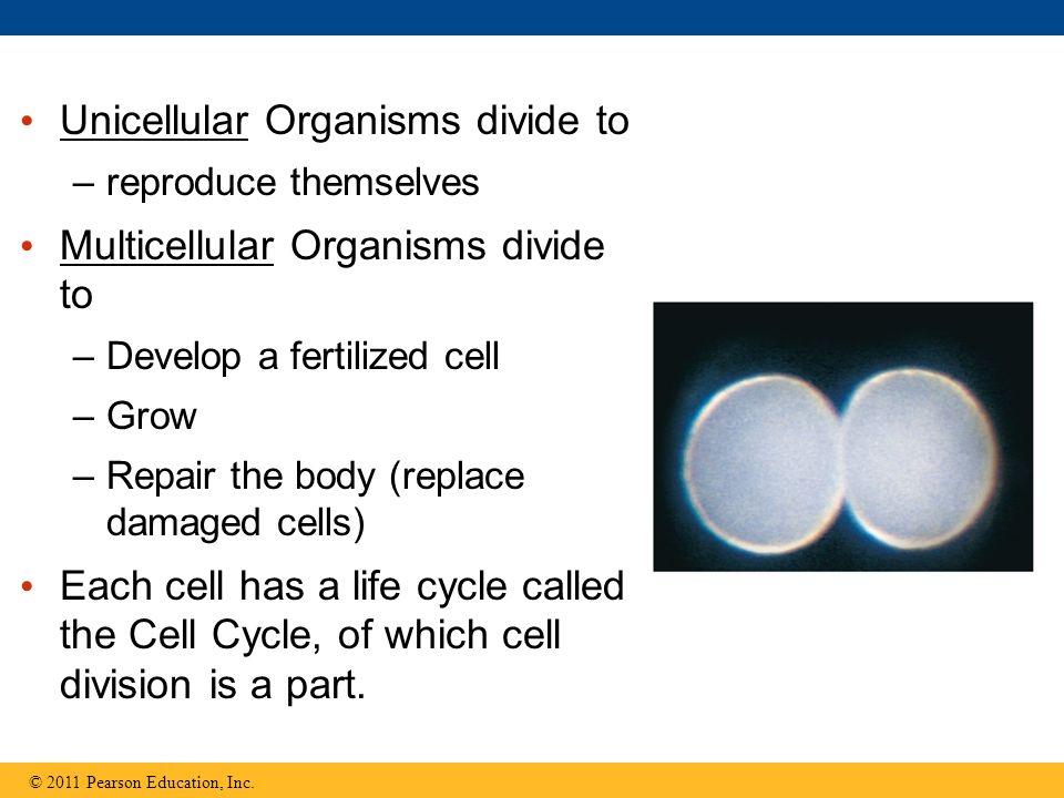 Unicellular Organisms divide to Multicellular Organisms divide to