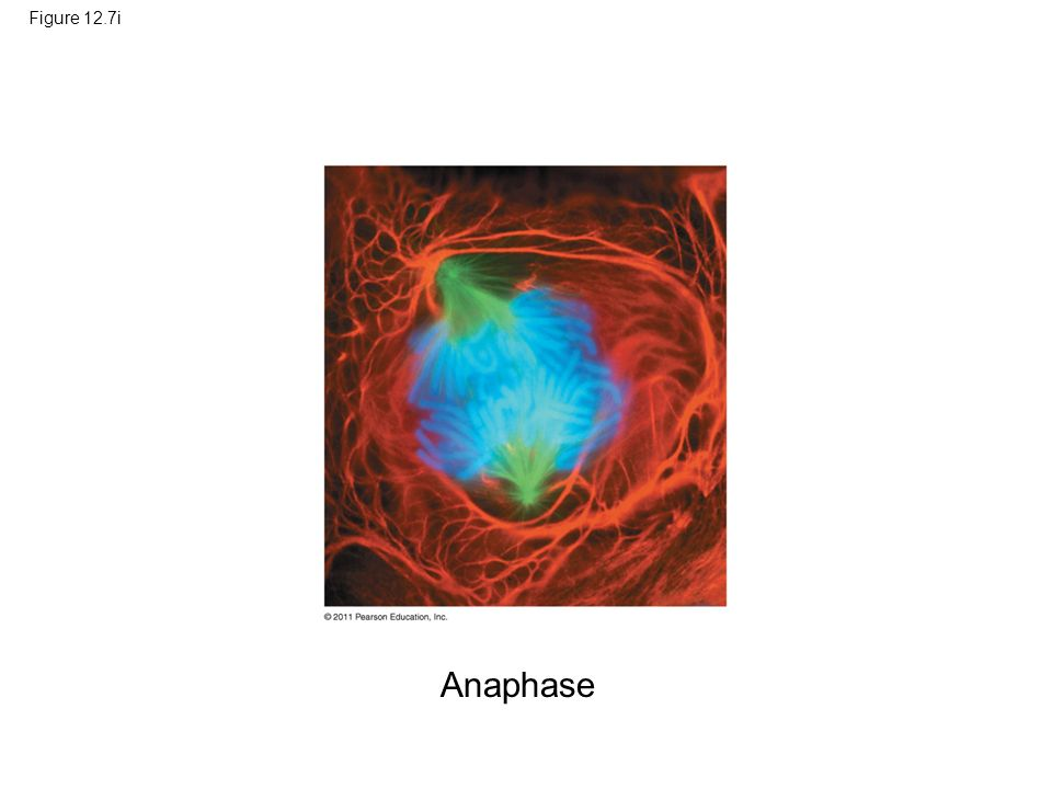 Figure 12.7i Figure 12.7 Exploring: Mitosis in an Animal Cell Anaphase