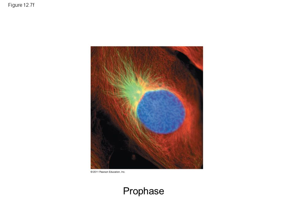 Figure 12.7f Figure 12.7 Exploring: Mitosis in an Animal Cell Prophase