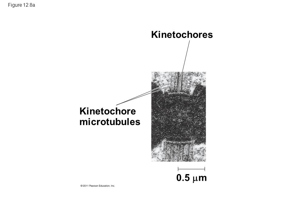 Kinetochore microtubules